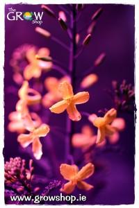 Borecole flowering under a Budmaster II LED Grow Light